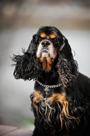 american cocker spaniel portrait on gray background photo