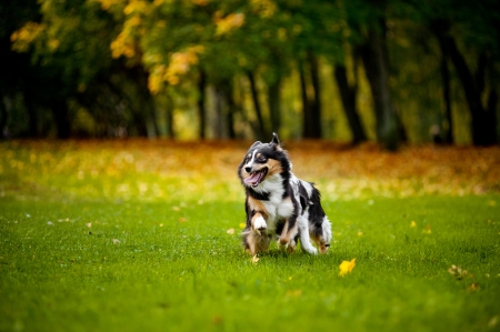 two Australian Shepherds play together in autumn photo