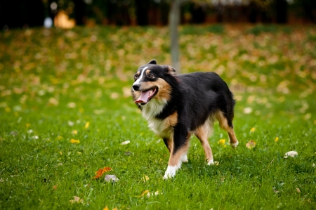 cute black Australian shepherd walks in autumn photo
