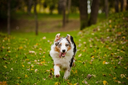 young merle Australian shepherd running in autumn photo
