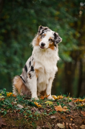 australian shepherd: young merle Australian shepherd portrait in autumn
