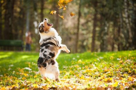pastorcillo: joven pastor australiano de Merle jugando con las hojas en otoño Foto de archivo