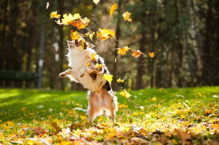 young merle Australian shepherd playing with leaves in autumn