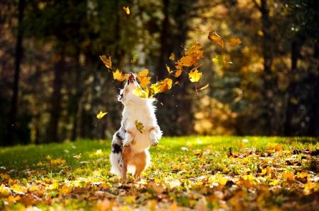 perro corriendo: joven merle pastor australiano que juega con las hojas en otoño