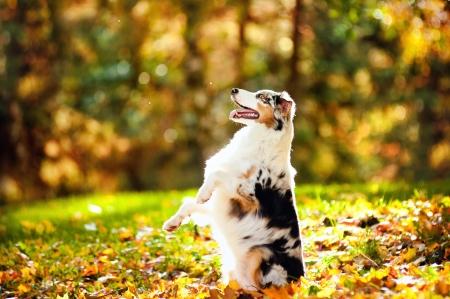 young merle Australian shepherd performs a trick in autumn Archivio Fotografico