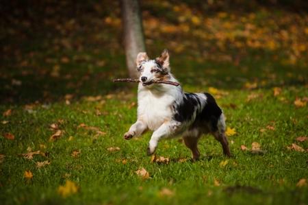 perro corriendo: joven pastor australiano merle marcha en otoño Foto de archivo