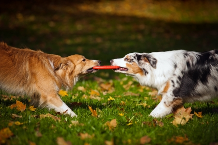 dog park: two dogs playing with a toy together in autumn