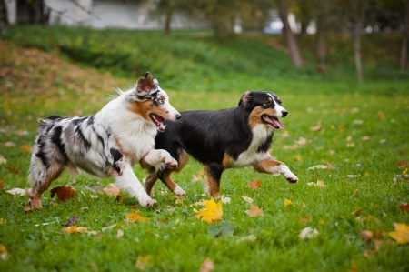 two Australian Shepherds play together in autumn