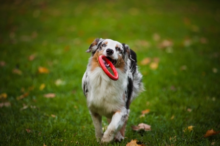 young merle Australian shepherd playing with toy in autumn photo