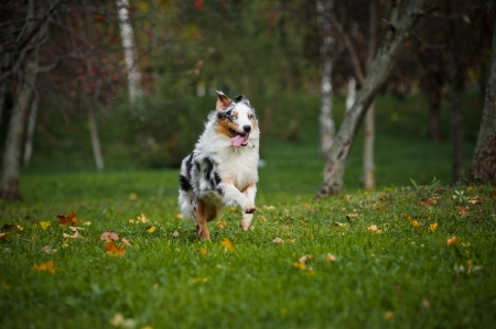 pure breed: young merle Australian shepherd running in autumn