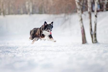Border collie dog running fast in winter photo