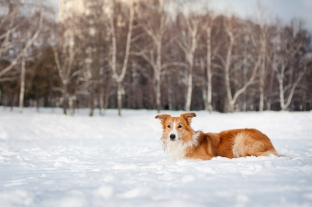 red border collie portrait in winter park Stock Photo