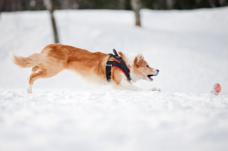 Red Border collie dog running fast to catch a toy in winter photo