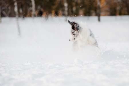 windstorm: Border collie dog playing in windstorm with toy in winter Stock Photo