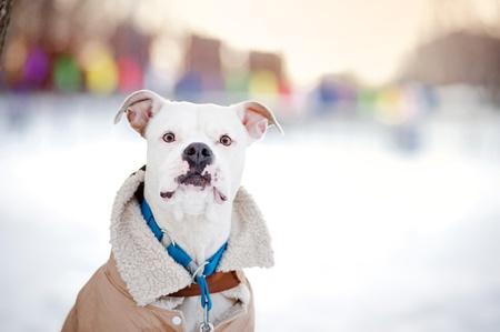 ropa de invierno: Divertido bulldog americano en ropa retrato