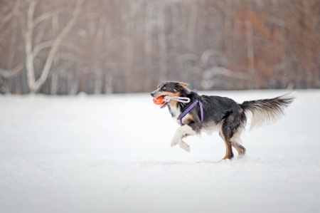 Blue Border collie dog running fast  with toy in winter