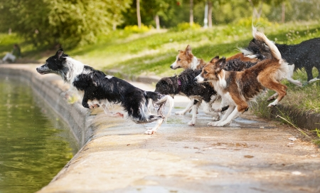 dogs play: dogs team border collie jumping in the water Stock Photo