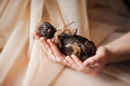 Newborn cute puppy in the hands of a girl photo