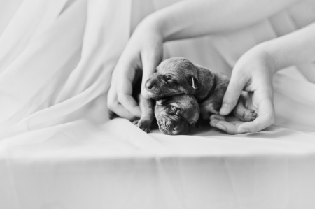 rhodesian: Newborn cute puppy in the hands of a girl Stock Photo