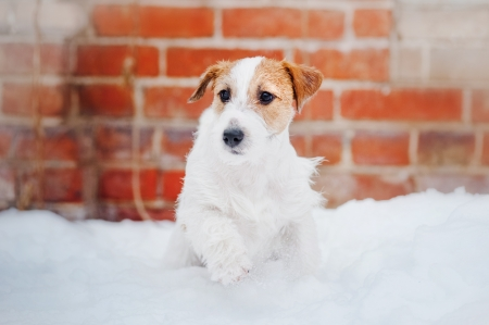 puppy Jack russel terrier playing in winter photo