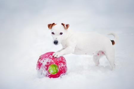 puppy Jack russel terrier playing with ball in winter photo