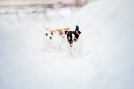 two puppy Jack russel terrier playing in winter photo