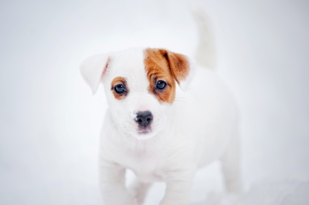 dog Jack russel terrier portrait in winter photo