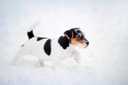 Puppy Jack russel terrier spelen in de winter