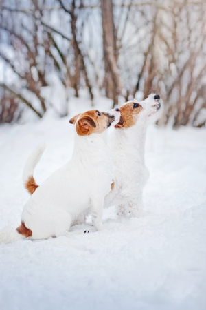 two Jack russel terrier portrait in winter photo