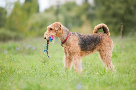 airedale terrier dog: Airedale Terrier playing with rope toy in summer