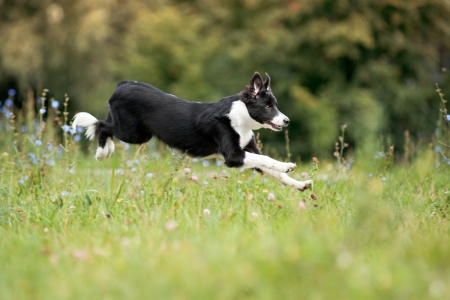 cute border collie puppy running through a meadow photo