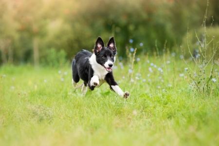 happy border collie puppy running through a meadow