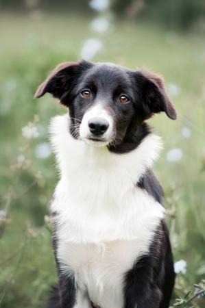 cute border collie puppy portrait in summer, 5 mounths
