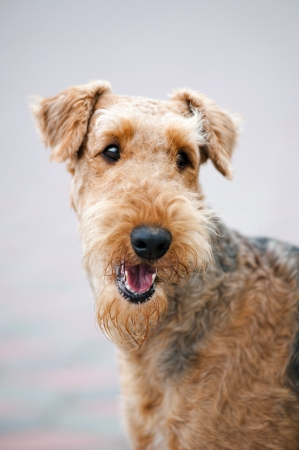 airedale terrier dog: happy cute adult Airedale Terrier dog, portrait Stock Photo