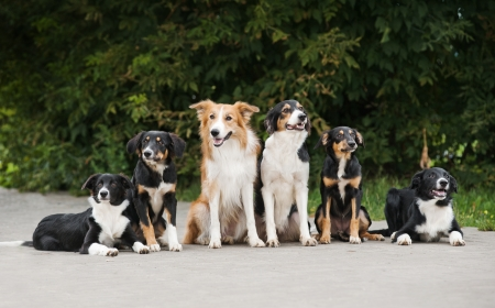 six dog border collie, family in summer photo