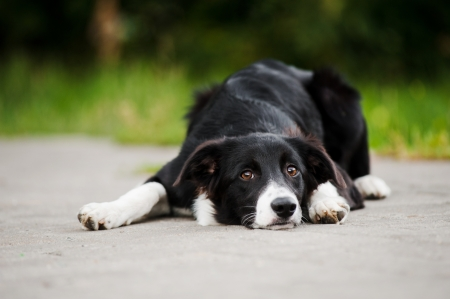 young puppy border collie lying and looking at the camera in a park in summer