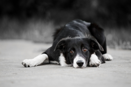 young puppy border collie lying in a park in summer photo