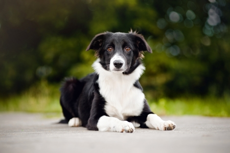 border collie: Black and white Border Collie puppy looking at camera, 5 months, in summer