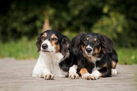 Two dog border collie portrait in summer park photo