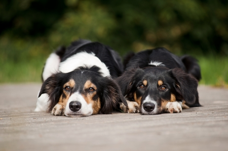 Two dog border collie rest together in summer park photo