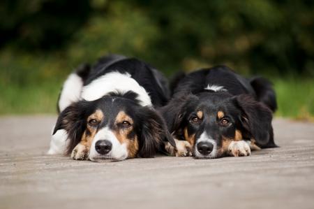Two dog border collie rest together in summer park