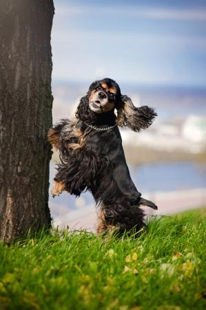 american cocker spaniel jump and look at the camera