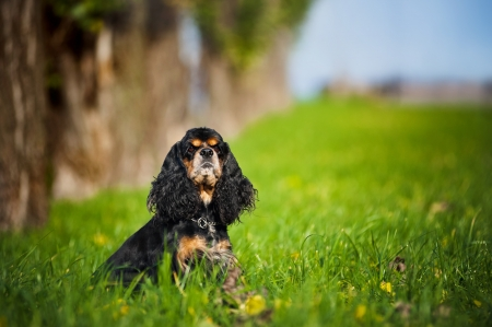 american cocker spaniel sitting on the grass in autumn