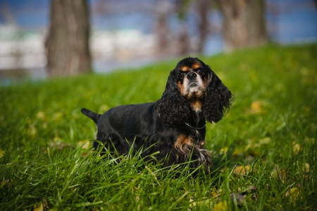 american cocker spaniel portrait in autumn photo