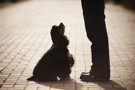 american cocker spaniel training at the man's feet