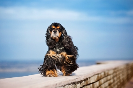 american cocker spaniel goes on sky background photo