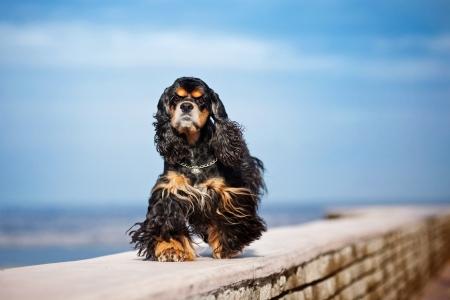 cocker spaniel: american cocker spaniel goes on sky background