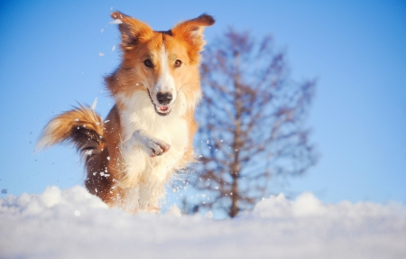 Beautiful red dog border collie playing in winter on blue sky background