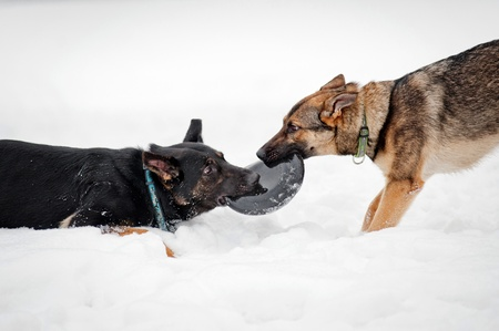 german shepherds plays with a disk frisbee on a snow field photo