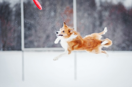 red border collie dog jumping in mid-air photo